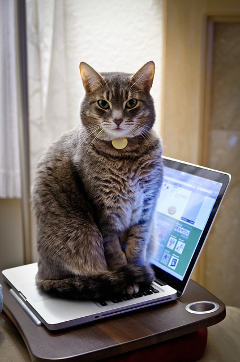 chat assis sur un ordinateur portable
